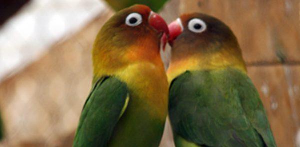 Aviary love birds