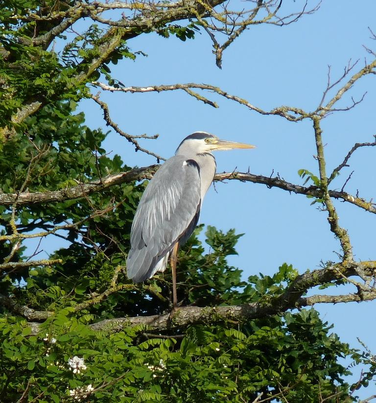 Heron at Hengistbury Head