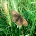 Cobie Worthy Butterfly in Kings Park
