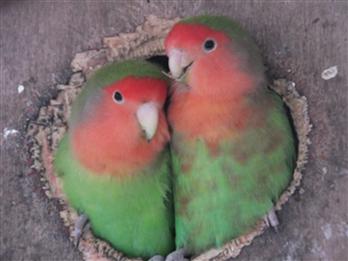 Love birds in aviary